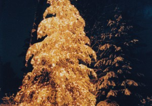 Large spruce with holiday lighting, covered in snow.