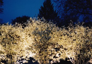 An illuminated stand of blooming Amelanchier arborea in Spring.